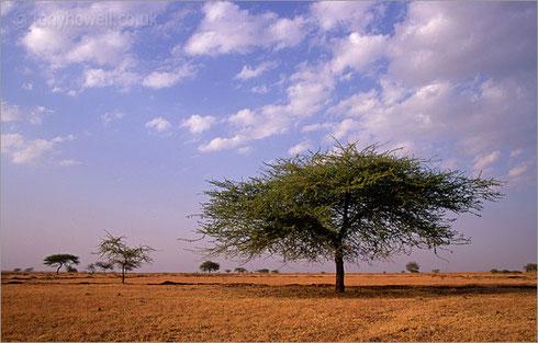 Thorny Acacia, India