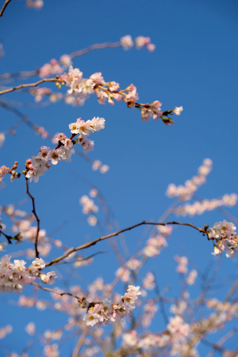 dieartigeGARTEN // Januar, Wintergarten - rosea 'Winterkirsche' + blauer Himmel