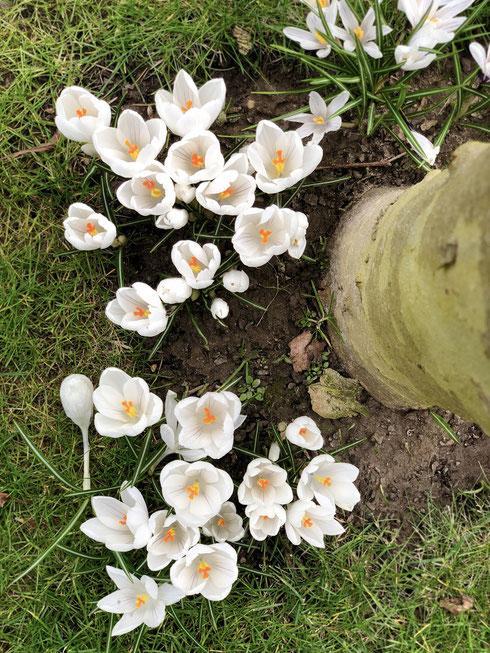 dieartigeGARTEN // März, Wintergarten - weiße Krokusse zu Füßen der Platanen