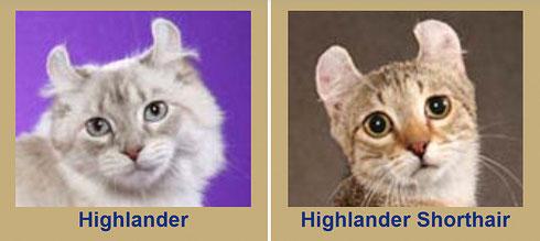 Highlander, TICA, Bildquelle tica.org