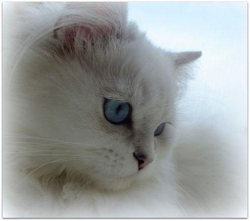 Britisch Langhaarkatze seal silver tipped point, fast weiße Katze mit blauen Augen ohne W-Gen, Foto: Christiane