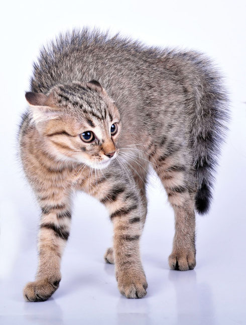 Katze Reißt Sich Haare Aus