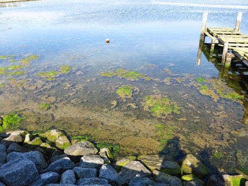 Algenwachstum durch Überdüngung im Binnensee (Foto: Niermann)