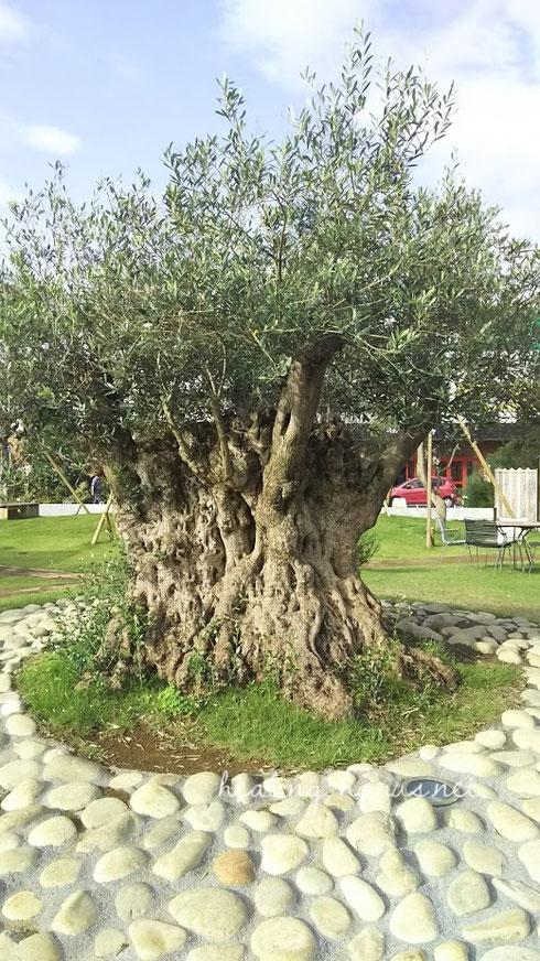 樹齢ウン百年のオリーブ。この木と話したらどんな話が聞けるだろうか。