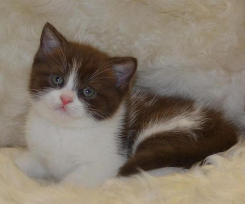 Британский котик шоколадный биколор
