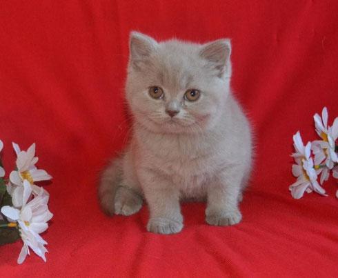 Купить британского котенка в Москве