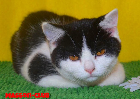 британская кошка окраса биколор
