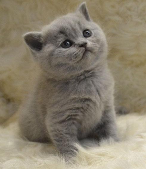 Роскошные британские котята!