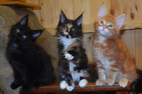 роскошные котята мейн кун