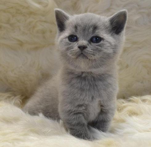 Роскошный голубой котик очень светлый оттенок шерсти