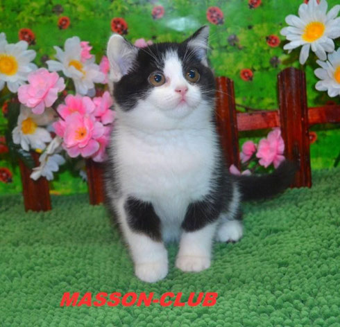 Биколорная британская кошка,носительница окраса цинамон