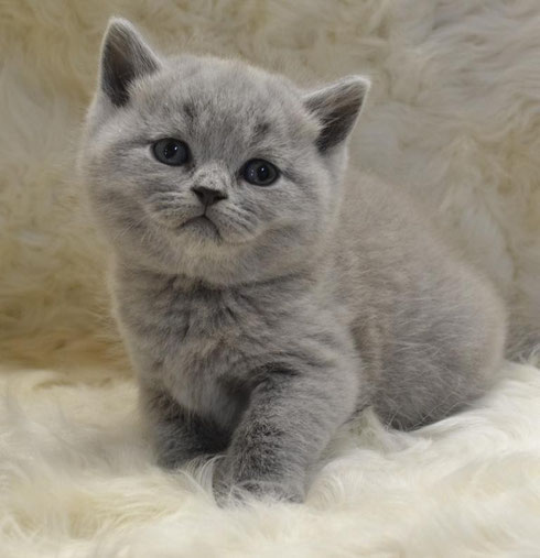 Продажа британских котят!