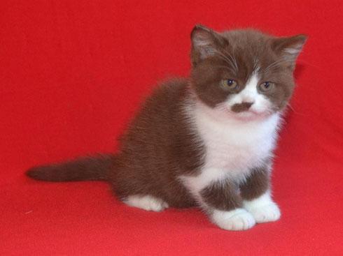 Британский шоколадный котенок питомник Masson-club