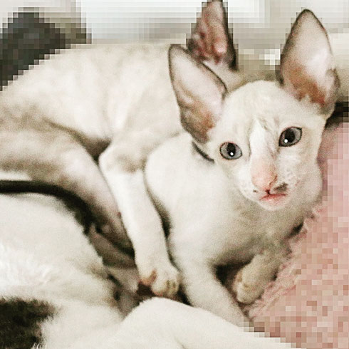 Katze,cat,cat cornish rex, cornish rex cat, cattery, zucht, katzenzucht, gatitos, gatos, chats,chatons, кудрявые котята, корниш рекс, котята, кошки,  katzenbabys, Cornish Rex, Rasse Cornish Rex, Katzenrasse, Kitten, Babykatze, Katze Cornish Rex, Rexkatze