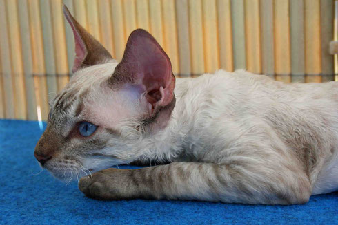 Cornish Rex 2014