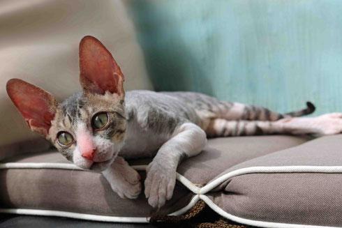 Cornish Rex,katze,Katzen,reinrassig, breed cat, kitty,babycat, katze kaufen,cornish rex kaufen