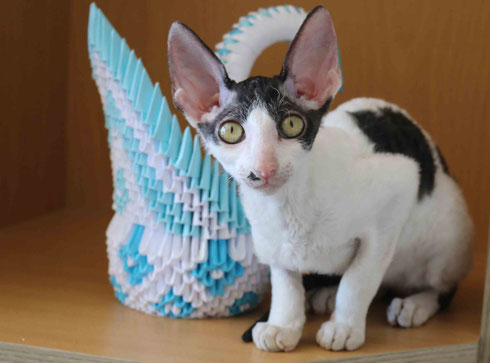 Katze Cornish Rex,Cat Cornish Rex,Breed Cornish Rex,Zucht Cornish Rex, Kittens,gatitos,gato, Katzenrasse Cornish Rex