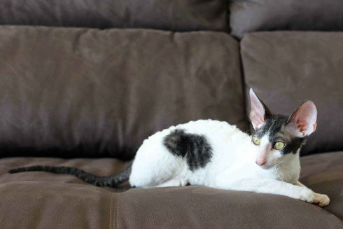 Cornish Rex,katze,cat,breed cornish rex,katze cornish rex,kittens,gatitos,cats,babycats,babykatzen