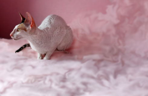 cornish rex katze kitten