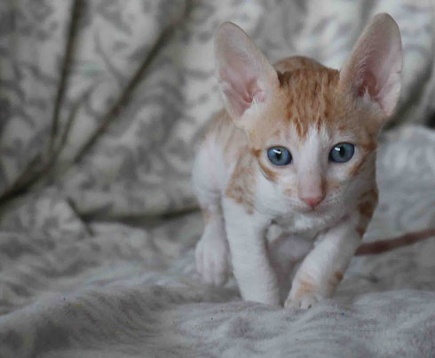 CORNISH REX Dael Cremoso
