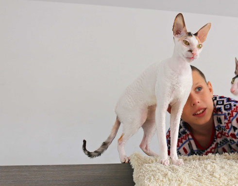 gata, cornish rex, raza cornish rex, pelo de rizo, gatitos, gatitos cornish rex