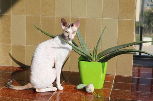 Cornish rex cat,cornish rex katze, cornish rex breed, cornish rex rasse,cornish rex raza,gato,katze,cat,pet,haustier,