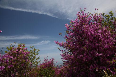 コバノミツバツツジと巻雲