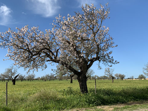 Mandelblüte und grüne Felder...