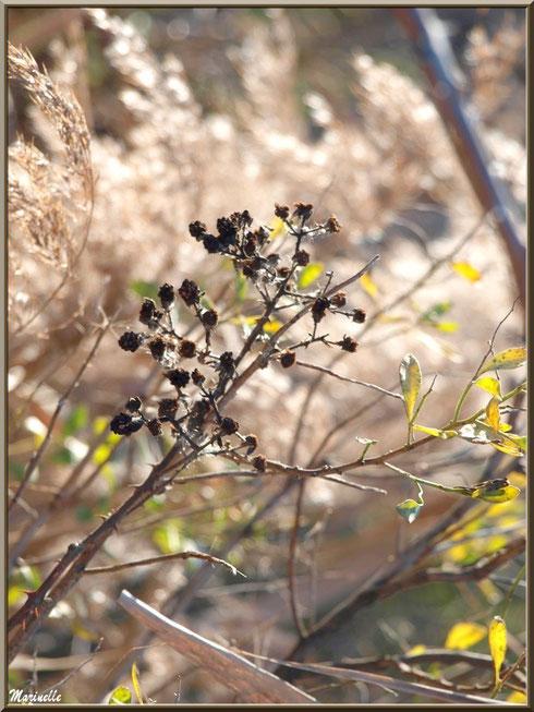 Méli-mélo végétal hivernal (mûres de roncier asséchées, roseaux et cotonnier) sur le Sentier du Littoral, secteur Moulin de Cantarrane, Bassin d'Arcachon