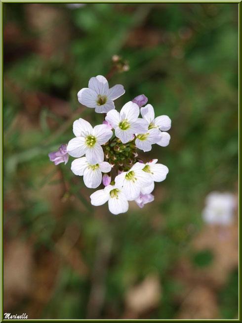 Cardamine des prés ou Cresson des prés ou Cressonnette, flore sur le Bassin d'Arcachon (33)
