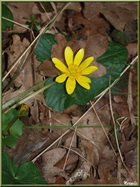 Boutons d'Ors ou Renoncules Rampantes ou Pieds de Poule, fleur et bouton, flore sur le Bassin d'Arcachon (33)