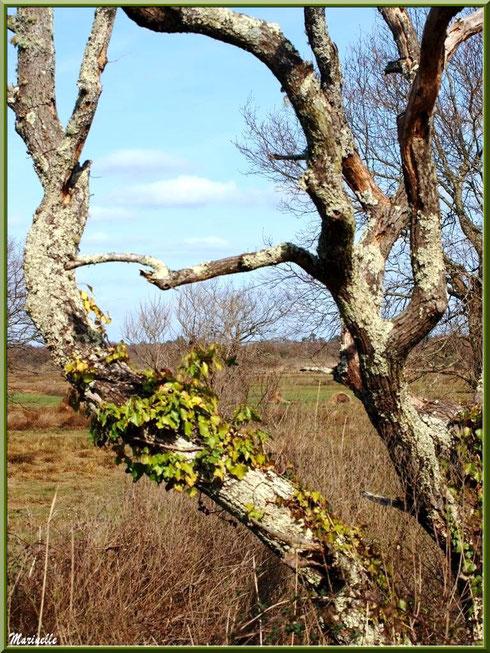 Végétation hivernale des prés salés, Sentier du Littoral secteur Pont Neuf, Le Teich, Bassin d'Arcachon (33)