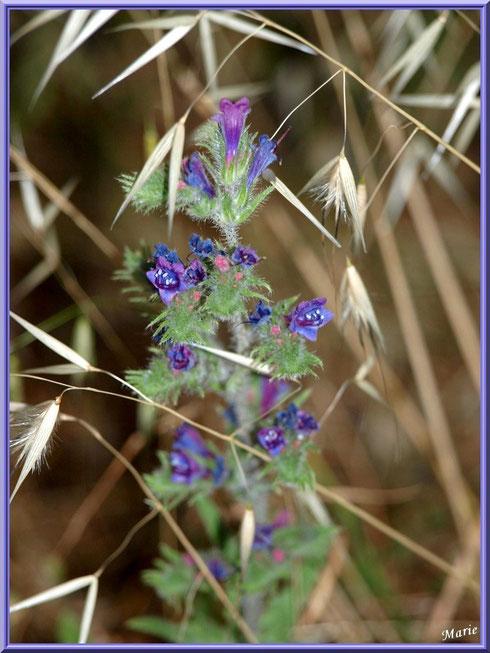 Bugle et herbacées en campagne à Saint Rémy de Provence, Alpilles (13)
