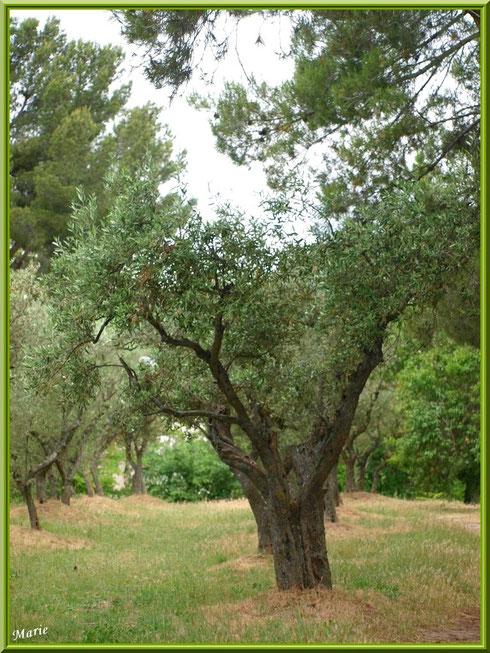 Oliveraie à Saint Rémy de Provence, Alpilles (13)