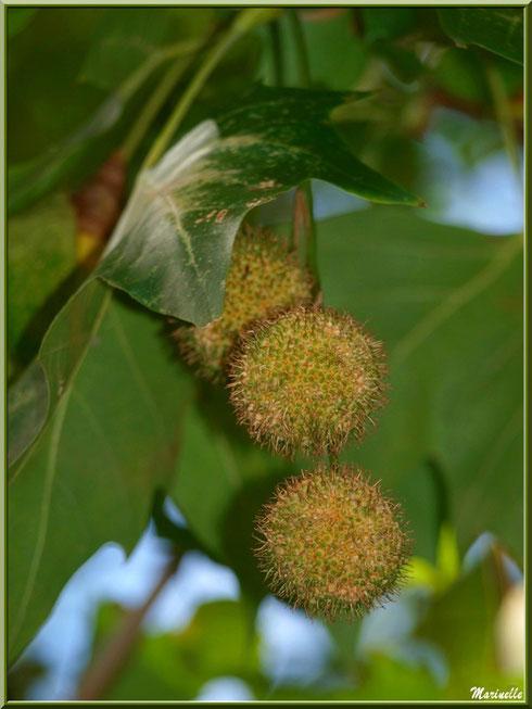 Boules de Platane, flore sur le Bassin d'Arcachon (33)