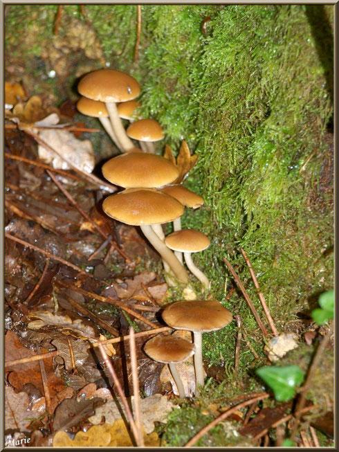 Collybies en alignement sur un tronc moussu en forêt sur le Bassin d'Arcachon