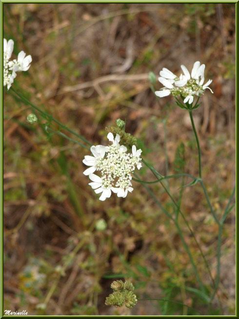 Fleurs blanches sauvages en bordure de la route montant vers le village d'Oppède-le-Vieux, Lubéron (84)