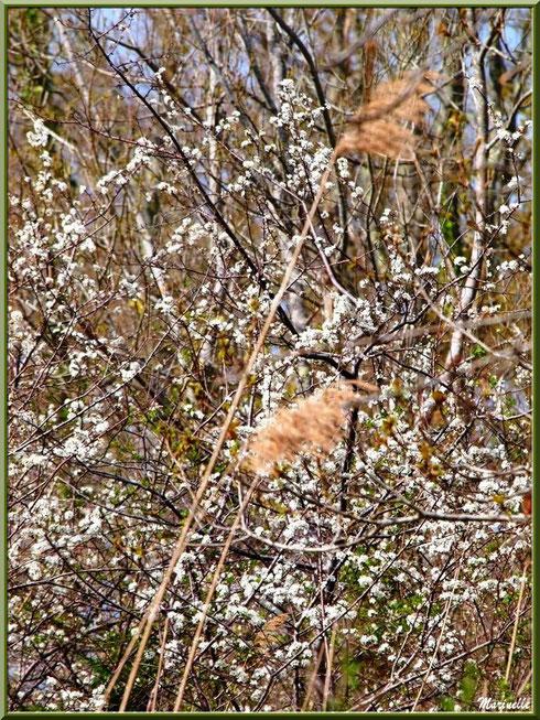 Roseaux et arbrisseau en fleurs printanières en bordure des prés salés, Sentier du Littoral secteur Pont Neuf, Le Teich, Bassin d'Arcachon (33)