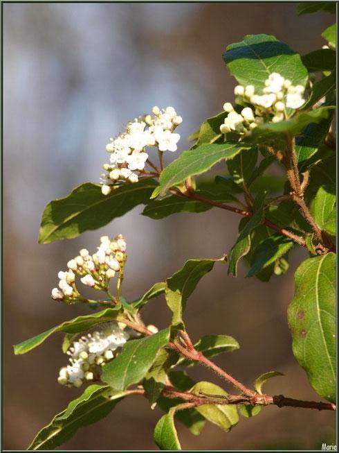 Arbuste en fleurs au Parc de la Chêneraie à Gujan-Mestras (Bassin d'Arcachon)