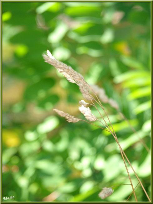 Herbacées au Parc de la Chêneraie à Gujan-Mestras (Bassin d'Arcachon)