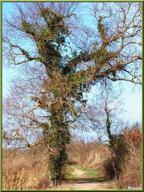Quand le petit sentier serpente entre roseaux et chênes, Sentier du Littoral secteur Pont Neuf, Le Teich, Bassin d'Arcachon (33)