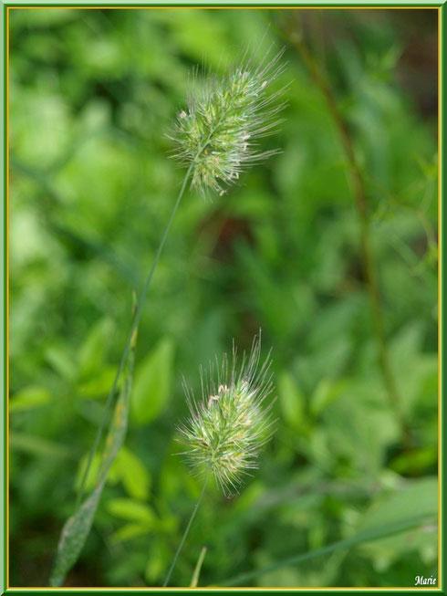 Herbacées en campagne à Saint Rémy de Provence, Alpilles (13)