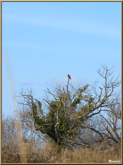 Buse au sommet d'un arbre dans les prés salés, Sentier du Littoral secteur Pont Neuf, Le Teich, Bassin d'Arcachon (33)