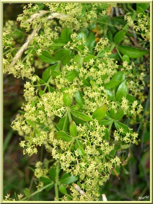 Arbuste à minuscules fleurs étoilées à Saint Rémy de Provence, Alpilles (13)