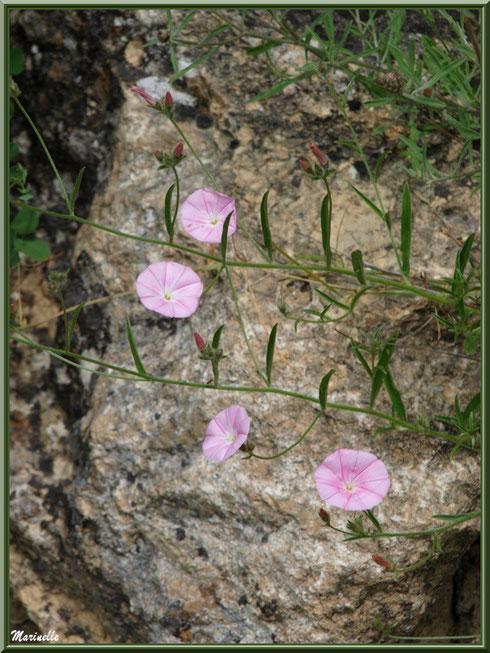 Liserons en fleurs en bordure de la route montant vers le village d'Oppède-le-Vieux, Lubéron (84)