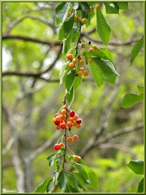 Branche de cerisier sur la montée vers le village d'Oppède-le-Vieux, Lubéron (84)