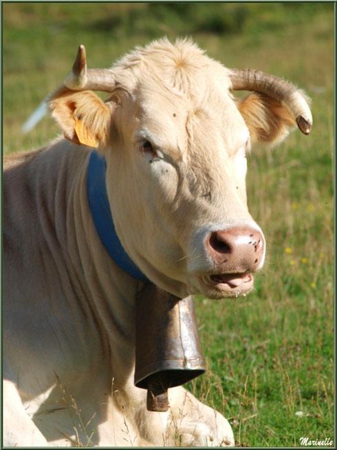 Vache dans une prairie d'altitude (Gourette) en Vallée d'Ossau (64)
