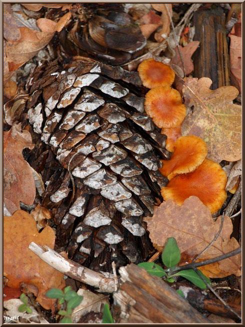 Collybies du chêne alignés le long d'une pomme de pin en forêt sur le Bassin d'Arcachon