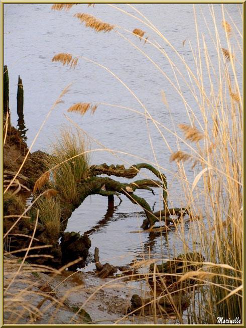 Racines herbeuses et roseaux en bordure d'un réservoir, Sentier du Littoral, secteur Domaine de Certes et Graveyron, Bassin d'Arcachon (33)