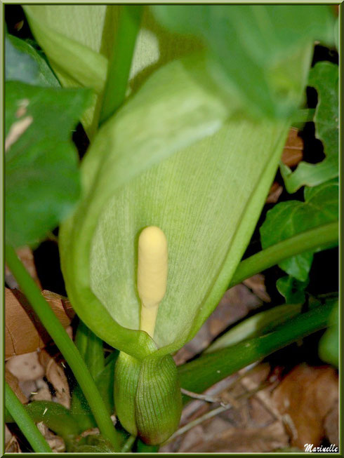 Arum tacheté ou Pied de Veau en fleur, flore sur le Bassin d'Arcachon (33)
